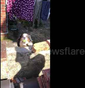 Neighbourhood dog throws ball over wall so he can play with everyone [Video]