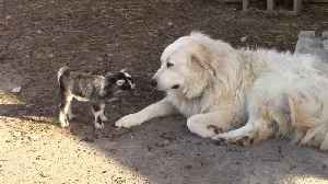 Tiny baby goats adorably play with Pyrenean Mountain Dog [Video]
