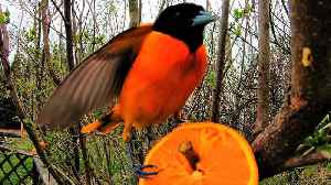 Very simple bird feeder attracts extremely beautiful birds [Video]