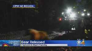 Bear Caught In Niwot, Released Back Into Wild [Video]