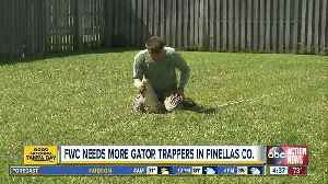 Fearless? Apply to become a FWC nuisance alligator trapper in Pinellas Country [Video]