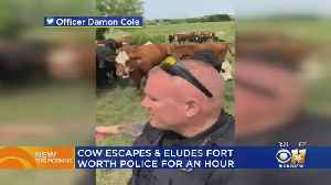 Fort Worth Suspect Roundup Involves What Else – A Cow! [Video]