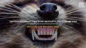 News video: 'Zombie Raccoons' Threaten Pets
