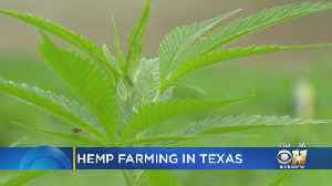 Hemp Farming In Texas [Video]