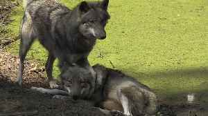 Watch: Return of wolves divides opinion in Germany [Video]