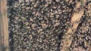 Huge Colony of Honey Bees Discovered in House [Video]