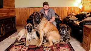 My Monster Mastiff Weighs 250lbs | TRULY [Video]