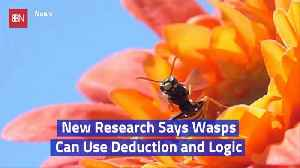 Wasps Are Smart Insects [Video]