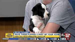 Pets of the week: Two litters of puppies available at Pet Pal Animal Shelter [Video]