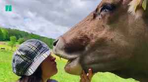 Officials Warn Against 'Cow Kissing' Challenge [Video]