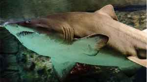 Tiger Shark Found With Jaw Removed, Stomach Cut Out [Video]