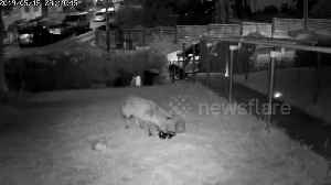 Hedgehog and fox have a friendly late-night dinner in a UK garden [Video]