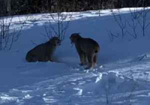 'Quit Fighting!': Two Lynxes Face Off in Manitoba Snow [Video]