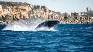 Warm Waters Potentially Causing Mass Whale Deaths [Video]