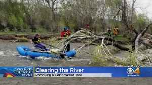 Large Cottonwood Cut Down Out Of Arkansas River [Video]