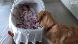 Golden Retriever adorably comforts crying newborn baby [Video]