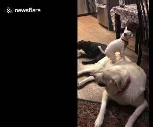 Cheeky chihuahua uses golden retriever friend to peek onto table [Video]