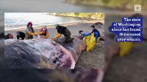 Rate of Gray Whale Deaths Rises on the West Coast [Video]