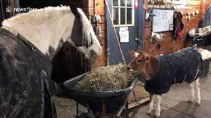 Rescue calf and horse share hay dinner together at New York sanctuary [Video]