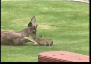 Real-Life Bambi and Thumper Play on Washington Resident's Lawn [Video]