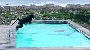 Monkeying Around –  Baboons Go For Dip In Pool [Video]