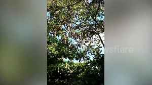 Local baffled as dozens of bats swarm tree in Philippines town [Video]
