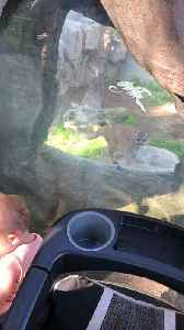 Fearless Baby Faces Mountain Lion [Video]