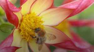 World Bee Day: Why are they so important? [Video]