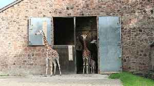 Baby Rothschild giraffe takes its first steps outside [Video]