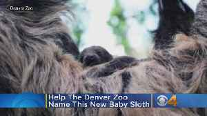 'It's A Boy!': Help Denver Zoo Name Its Baby Sloth [Video]
