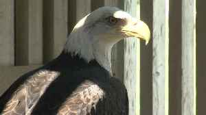 Sanctuary eagles serve sacred purpose to Native Americans [Video]