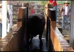 Bull Completes Dramatic Splash as Mexican Farmers Look On [Video]
