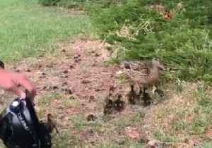Lucky Ducks: Colorado Firefighters Rescue Ducklings From Storm Drain [Video]