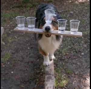 Dog balances 5 cups of water while walking beam [Video]
