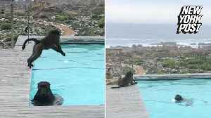 Baboons take a leisurely dip in this guy's pool [Video]