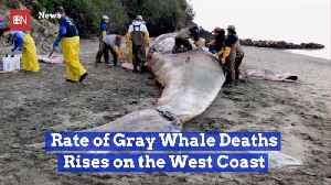 The West Coast Sees More Whale Deaths [Video]