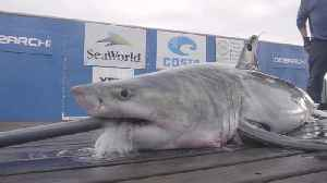 Web Extra: Tagging Cabot, The Great White Shark [Video]