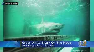 Great White Shark On The Move Off Long Island [Video]