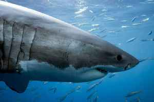 News video: Long Island Sound Sees Its First Great White Shark