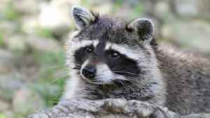Raccoon tests positive for rabies in Palm Beach County, health officials say [Video]