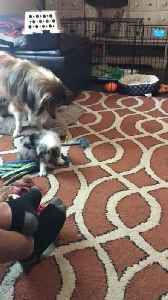 Collie Dog Teaches Puppy how to Play Tug of War [Video]