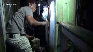 Huge 16ft python caught from under Indonesia house after preying on local livestock [Video]