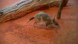 Bringing back the bilby - a century extinct in New South Wales