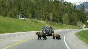 Grizzly bear mother leads cubs safely across Canadian highway [Video]