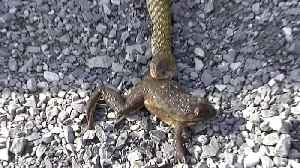 Incredible moment frog hopes away after being regurgitated by snake [Video]