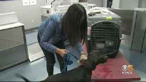Wayward Dog Found In Michigan Reunited With Owners At SFO [Video]