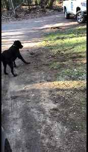 Rare animal friendships: Dog plays with his partridge best friend [Video]