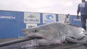 Great White Shark's Great Getaway [Video]