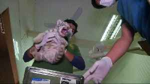 White tiger triplets get first check-up at Chile zoo [Video]