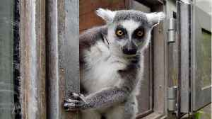 Man agrees to plead guilty to stealing endangered lemur from zoo [Video]